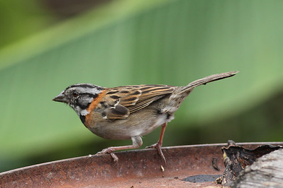 Sparrows and Thrushes