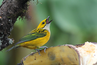 Tanagers, Chlorospingus and Honeycreepers