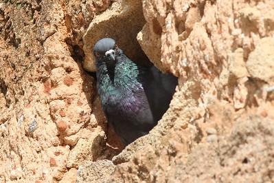 Rock Pigeon (Feral)