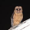 Lesser Antilean Barn Owl (Tyto insularis) Massacre, Dominica