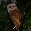 Madagascar Red Owl (Tyto soumagnei) Bemanevika, Madagascar