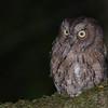 Rainforest Scops-Owl (Otus rutilus) Bemanevika Forest, Madagascar