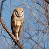 Barn Owl (Tyto alba) Whitewater Draw WMA, AZ