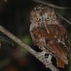 Pemba Scops-Owl (Otus pembaensis) Fundu Lagoon, Pemba Island, Tanzania