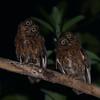 Mayotte Scops-Owl (Otus mayottensis) Majimbini Forest Reserve, Mayotte