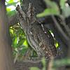 Pacific Screech Owl (Megascops cooperi) Barra de Santiago, El Salvador