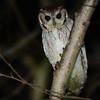 Balsas Screech-Owl (Megascops seductus) Colima, Mexico