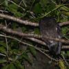 Comoro (Karthala) Scops-Owl (Otus pauliani) Mount Karthala, Grand Comore, Comoro Islands