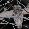 Western Screech-Owl (Otus kenicotti) Ladder Ranch, Hillsboro NM
