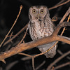Eastern Screech-Owl (Otus asio) Bismarck ND