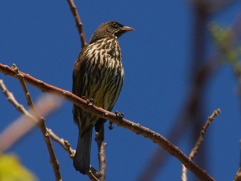 Palmchat (Dulus dominicus) Sosua, Dominican Republic