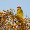 Red-crowned Parrot 6