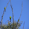 Superb Parrot (Polytelis swainsonii) Deniliquin, New South Wales, Australia