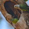 Gray-headed Lovebird (Agapornis canus) Ankarafantsika NP, Madagascar
