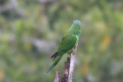 Dusky-headed Parrot