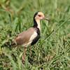 Long-toed Lapwing (Vanellus crassirostris) Xaro Lodge, Okavongo River, Botswana
