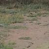 Egyptian Plover (Pluvianus aegyptius) Benoue River bed, Garoa, Cameroon