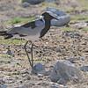 Blacksmith Lapwing (Vanellus armatus) Etosha NP, Namibia