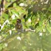 Striolated Puffbird (Nystalus striolatus) Cristalino Lodge, Alta Floresta, Mato Grosso, Brazil