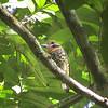 Spotted Puffbird (Bucco tamatia) Rupinuni River Valley, Guyana