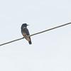 Swallow-wing (Chelidoptera tenebrosa) Allapuhuayo, Peru