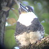 Guianan Puffbird (Notharchus macrorhynchus) Iwokrama Forest, Guyana