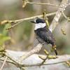 Brown-banded Puffbird (Notharchus ordii) Cristalino Lodge, Alta Floresta, Mato Grosso, Brazil