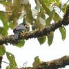White-fronted Nunbird (Monasa morphoeus) Affluente, Peru