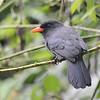 Black-fronted Nunbird (Monasa nigrifrons) Cristalino Lodge, Alta Floresta, Mato Grosso, Brazil