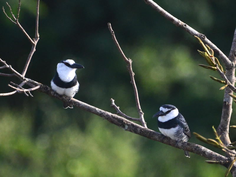 White-necked Puffbird (Notharchus hyperrhynchus) Cristalino Lodge, Alta Floresta, Mato Grosso, Brazil