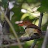 Collared Puffbird (Bucco capensis) Cristalino Lodge, Alta Floresta, Mato Grosso, Brazil