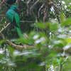 Resplendant Quetzal (Pharomarchus mocinno) Chelemha Reserve, Yalijux Mountains, Guatemala