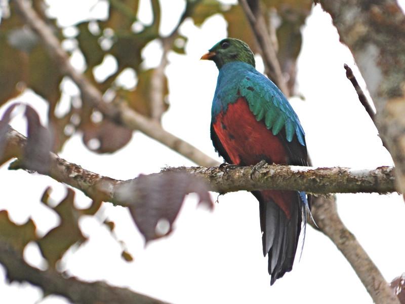 Golden-headed Quetzal (Pharomachrus auriceps) La Esperanza, Peru