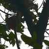 White-tipped Quetzal (Pharomachrus fulgidus) ProAves Eldorado Reserva, Magdalena, Columbia