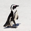 Jackass Penguin (Spheniscus demersus) Boulders Beach, Capetown, South Africa