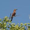 Rufous-crowned Roller (Coracias  naevia) Etosha NP, Namibia
