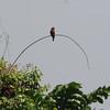 Blue-throated Roller (Eurystomus gularis) Nsutu Forest, Ghana