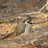Long-tailed Ground-roller (Uratelornis chimaera) Toliara, Madagascar