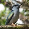 Cuckoo Roller (Leptosomus discolor) Perinet, Madagascar