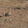Namaqua Sandgrouse (Pterocles namaqua) Etosha NP, Namibia