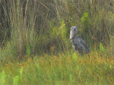 Shoebill and Hamerkop