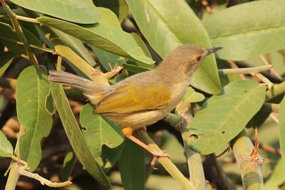Gray Green-backed Camaroptera