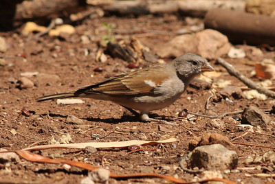 Southern Gray-headed Sparrow