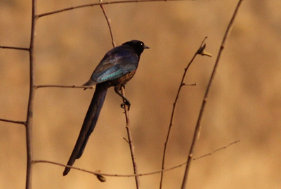 Meve's Glossy Starling