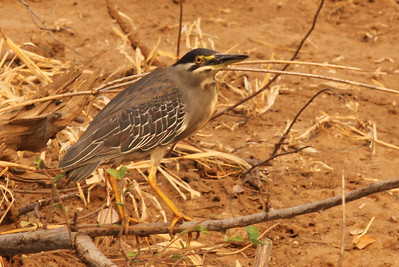 Striated (Green-backed) Heron
