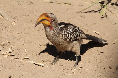 Hornbills, Scimitar-bills and Woodhoopoes