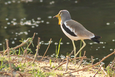 White-headed Lapwing (White-crowned Plover)