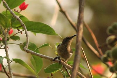Sunbird Species females