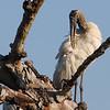 Wood Stork (Mycteria americana) Ding Darling NWR, Sannibel Island, FL