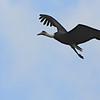 Wooly-necked Stork (Ciconia episcopus) Mabamba Swamp, Uganda